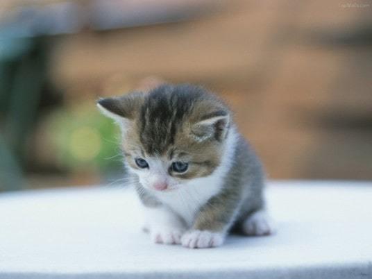 Tặng mèo cảnh làm thú cưng